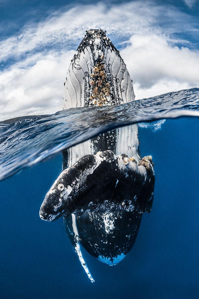 Greg Lecoeur/UPY2018: 'Humpback whale spy hopping'
