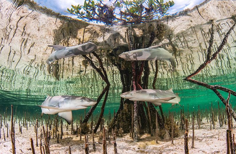 """© Anita Kainrath/UPY2020: """"Lemon shark pups in mangrove nursery"""", ausgezeichnet im Bereich Nachwuchs (Up and coming)"""