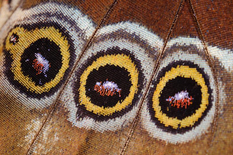 Hinterflügel eines Bananenfalters
