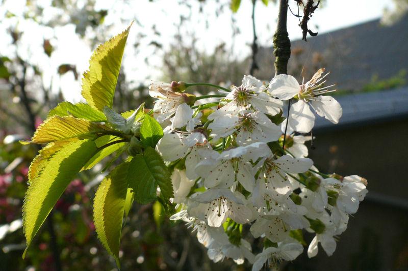 Bei diesem Bild kommt leider der Blütenzweig der Kirsche aufgrund es unruhigen Hintergrundes kaum zur Geltung. Besser wäre hier eine weiter geöffnete Blende (kleinere Blendenzahl) gewesen.