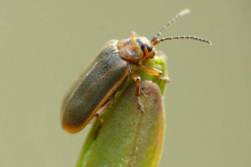 Hier wurde der Käfer einfach nur mittig im Bild platziert. Zwar ist er gut vor dem Hintergrund freigestellt und die Schärfe entspricht dem bei diesem Abbildungsmaßstab mit der Lumix FZ50 machbaren, dennoch ließe sich das Bild mit einem andere Schnitt optimieren