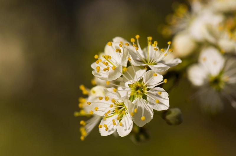 Bei Blende 7,1 reichte die Schärfentiefe exakt aus, damit die Blüten an der Zweigspitze bis hinten scharf sind, die ganz hinteren Blüten und der Hintergrund aber ruhig und unscharf. So heben sich die Blüten gut ab.