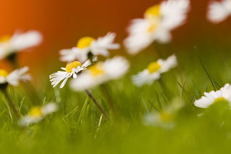 Hier wurde bei maximal geöffneter Blende  an der Nikon D90 und 180mm Brennweite auf eine einzelne Blüte fokussiert, so dass die dahinter und davor liegenden unscharf sind.