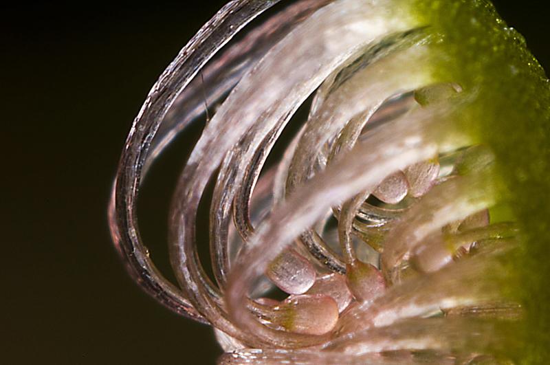 Hier wurde ein junges Blatt einer Sonnentaupflanze mit Balgen und 20-mm-Objektiv in Retrostellung fotografiert. Selbst bei maximal geschlossener Blende war bei einen Abbildungsmaßstab von knapp 11:1 keine durchgängige Schärfe mehr möglich. Daher wurde auf die Enden der Tentakeln im Innern des aufgerollten Blattes scharf gestellt.