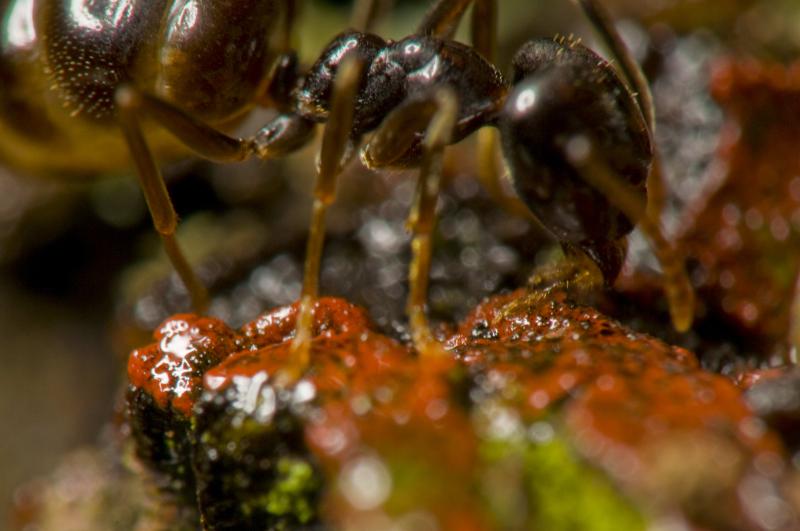 Bei diesem Bild, das mit 105-mm-Makro-Objektiv und der Raynox MSN-505-Makrolinse gemacht wurde, zeigt sich das Problem mit der geringen Schärfentiefe recht deutlich. Schon bei einer effektiven Blende von 40 reicht die Schärfentiefe nicht mehr aus, um den ganzen Körper der Ameise scharf zu stellen. Die unscharfen Beine vor dem Kopf stören dabei erheblich. Abbildungsmaßstab ca. 3,4:1