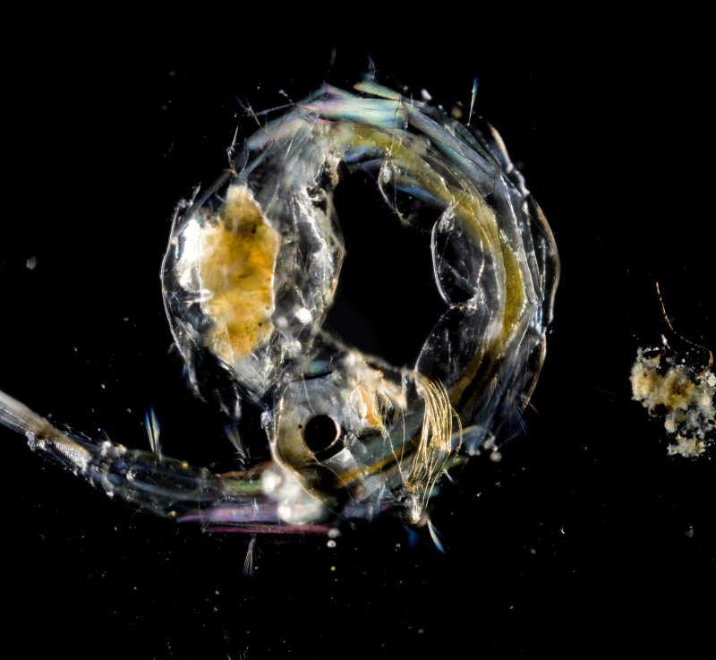 Hier wurde die Zuckmückenlarve mit  28mm Componon-Objektiv am voll ausgezogenen Balgen fotografiert. Abbildungsmaßstab ca.5:1. Die Beleuchtung erfolgte hier von seitlich unten mittels Ringblitz