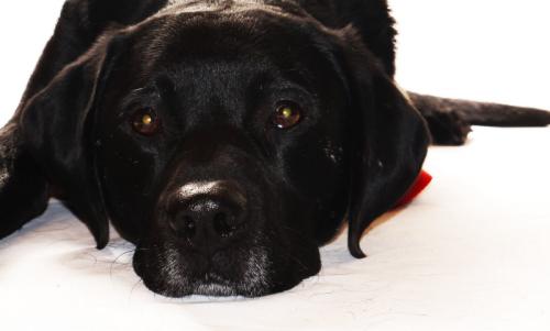 Trotz Beleuchtung mit Studioblitzen von link und hinten hat der Hund verblitzte Augen, weil die Studioblitze über den Kamerablitz ausgelöst wurden.