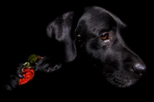 Auch Tiere können mit Lowkey-Technik fotografiert werden. Auch hier eignen sich jedoch vor allem Tiere mit dunklem glänzendem Fell, so dass das eingesetzte Licht zu schönen Lichtreflexen führt, die die Konturen betonen.