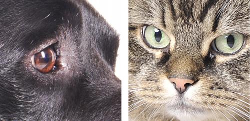 Im linken Bild wurde eine lange Softbox verwendet, dadurch sind die Lichtreflexe schon gleichmäßig hell ohne Details, bei dem Bild der Katze spiegeln sich ganz deutlich die verwendeten Durchlichtschirme in den Augen. Das ist weniger schön.