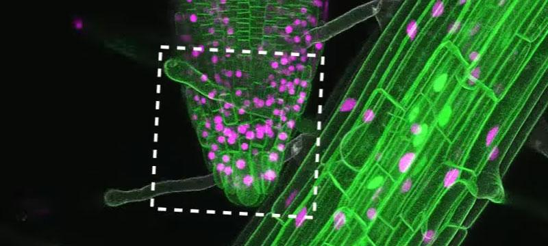 Wenn Wurzeln wachsen – neue Technik zur automatischen Mikroskopaufnahme